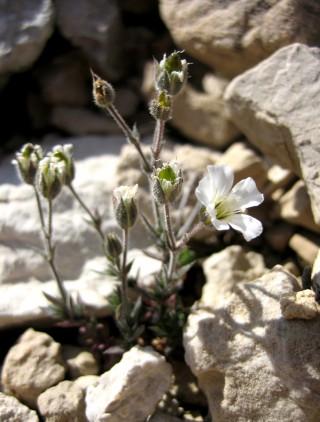 Arenaria bolosii