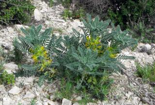 Astragalus macrocarpus subsp. lefkarensis
