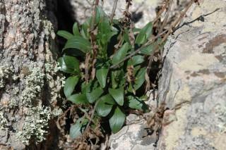 Centranthus trinervis