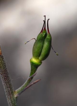 Delphinium caseyi