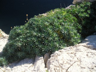 Euphorbia margalidiana
