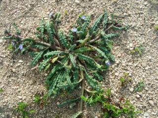 Anchusa crispa