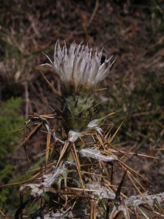 Lamyropsis microcephala