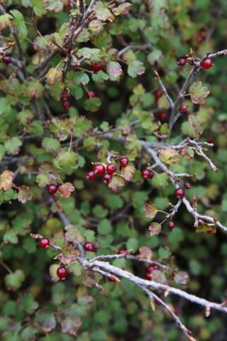 Ribes sardoum