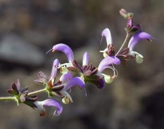 Salvia veneris