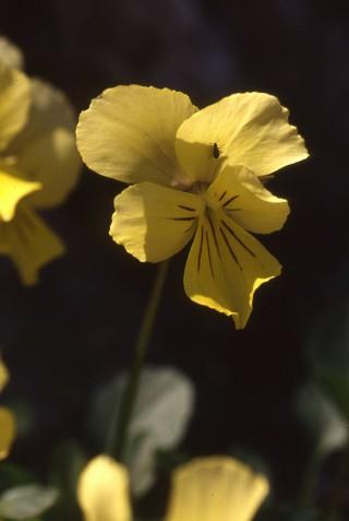 Viola ucriana