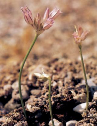 Allium calamarophilon