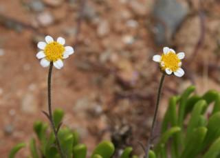 Anthemis glaberrima