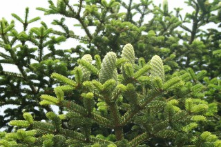 Abies nebrodensis